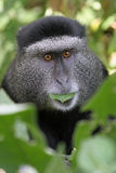 Blue Monkey. Cercopithecus mitis stuhlmanni, Portrait of adult male with leaf in mouth Stock Images