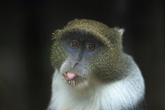 Blue monkey Royalty Free Stock Photography