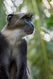 Blue Monkey - Cercopithecus mitis, Kenya, Africa. Portrait of blue monkey in Kenya Stock Image