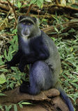 Blue Monkey Royalty Free Stock Photos