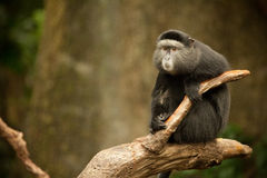 Blue Monkey - Cercopithecus. Single Blue Monkey on Branch - Cercopithecus royalty free stock photos