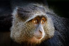 Blue monkey or diademed monkey, Royalty Free Stock Images