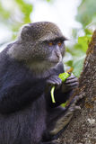 Blue monkey eating in the tree Royalty Free Stock Photography