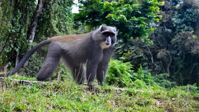 Blue monkey exotic safari. Nice blue monkey in the rain forest Royalty Free Stock Images