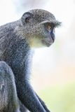 Blue Monkey Royalty Free Stock Image