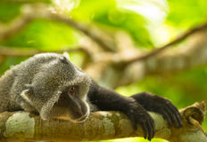 A Blue Monkey in melancholy Royalty Free Stock Image