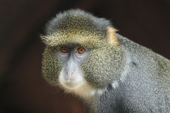 Blue monkey Royalty Free Stock Images