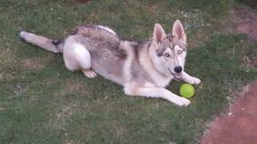 Blue. 6 month old Siberian Husky X German Shepherd Royalty Free Stock Photo