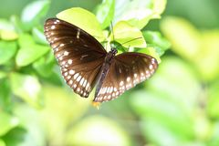 Blue Moon Butterfly Royalty Free Stock Photo