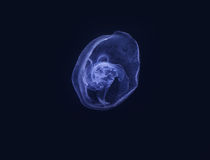 Blue moon jelly fish Royalty Free Stock Image