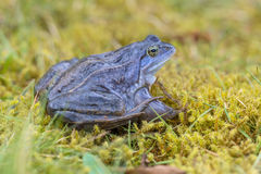 Blue Moor frog with distictive lining on back. Blue Moor frog (Rana arvalis) with distictive lining on back. Males can develop bright blue coloration for a few royalty free stock photo