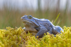 Blue Moor frog side view. Blue Moor frog Rana arvalis. Males can develop bright blue coloration for a few days during the breeding season in march or april stock photo