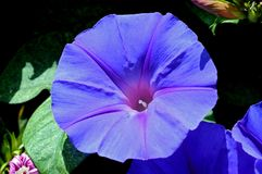 Blue morning glory. Royalty Free Stock Images