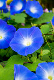 Blue morning glory Stock Photography