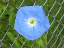 Blue Morning Glory Flower. A blue morning glory blossom climbing on a chain link fence Royalty Free Stock Photography