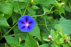 BLUE MORNING GLORY FLOWER Stock Images