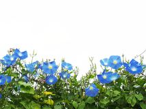 Blue morning glory flower isolated on white background. Close up blue morning glory flower with green leaves isolated on white background with copy space Stock Photography