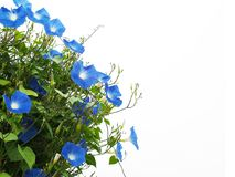 Blue morning glory flower isolated on white background. Close up blue morning glory flower with green leaves isolated on white background with copy space Stock Photo