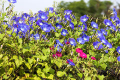 Blue Morning Glory flower in nature Stock Images