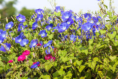 Blue Morning Glory flower in nature Stock Photography