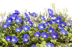 Blue Morning Glory flower in nature Stock Photo