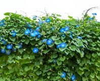 Blue Morning glory flower plant Stock Photo