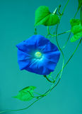 Blue morning glory flower on vine Royalty Free Stock Images