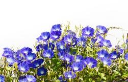 Blue Morning Glory flower on white Royalty Free Stock Photo