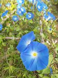 Blue morning glory flowers Royalty Free Stock Photo