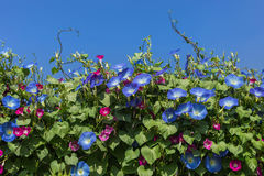 Blue morning glory flowers blooming on blue sky background Royalty Free Stock Images