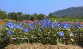 Blue morning glory flowers Stock Photos