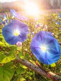 Blue morning glory flowers with flare light background Stock Images