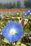 Blue morning glory flowers Royalty Free Stock Images