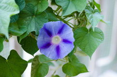Blue morning glory. In a garden Royalty Free Stock Photos