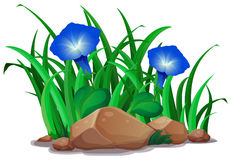 Blue morning glory in the garden. Illustration royalty free illustration