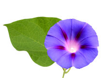 Blue morning glory. A blue morning glory with leaf royalty free stock photos