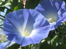 Blue morning glory Stock Image