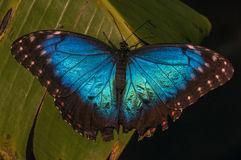 Blue morph butterfly. Resting on a banana leaf, Belize Royalty Free Stock Images