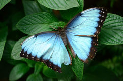 Blue morph butterfly. On a leaf royalty free stock photo