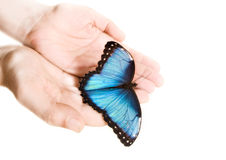 Blue Morpho. Man hands holding Blue Morpho butterfly Royalty Free Stock Image