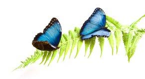 Blue Morpho. Two Blue Morpho butterflies on a fern leaf Stock Photo