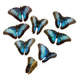 Blue Morpho. A collection of Blue Morpho butterflies on white Royalty Free Stock Images