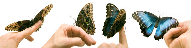 Blue Morpho. Butterfly on a womans hand Royalty Free Stock Image