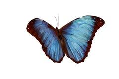 Blue Morpho. Butterfly (Morpho godarti Stock Photos