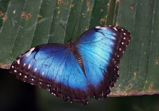 Blue Morpho. (2) stock image
