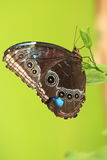 Blue morpho. The blue morpho butterfly on the green background Stock Photos