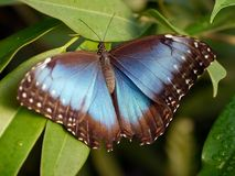 Blue morpho Royalty Free Stock Photos