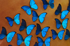 Blue morpho butterflies background. Background with many blue morpho ( morpho peleides) butterflies, top view Stock Images