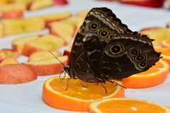 Blue Morpho butterflies at the feeding station. Stock Image