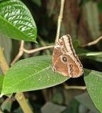 Blue morpho butterfly stock photos